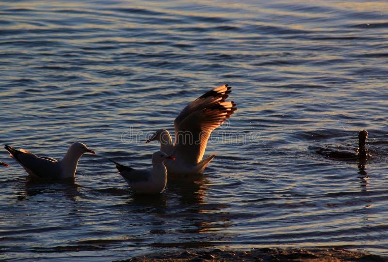 Seagulls möter i vattnet royaltyfria foton
