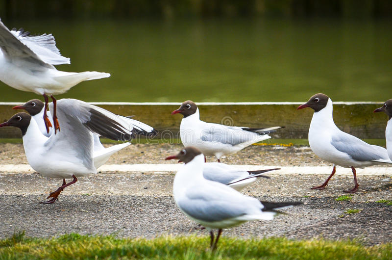 Seagulls on the march by a sidewalk path by a river stock photo