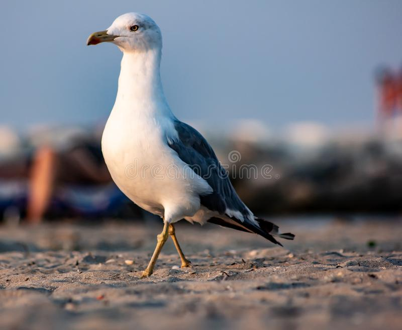 The seagulls are medium-large sized birds, with sizes ranging from 29 cm in length to 120 g in weight of the small gull, to 75 cm stock photos