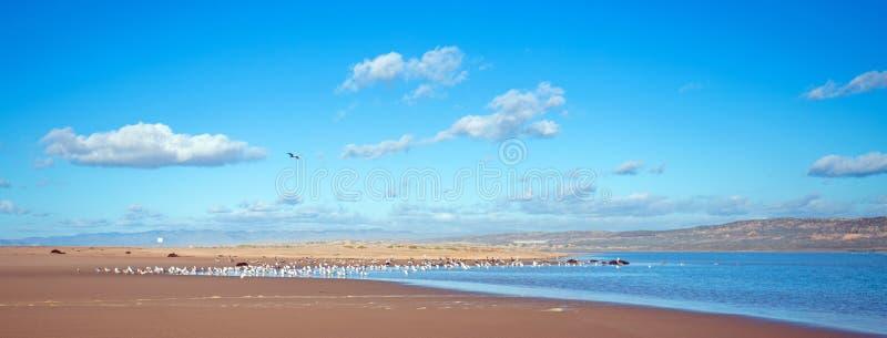Seagulls mellan den Stilla havet- och Santa Maria floden på Rancho Guadalupe Sand Dunes på central kust av Kalifornien USA royaltyfri foto