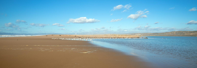 Seagulls mellan den Stilla havet- och Santa Maria floden på Rancho Guadalupe Sand Dunes på central kust av Kalifornien USA arkivbilder