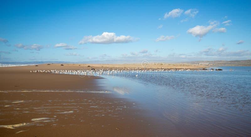 Seagulls mellan den Stilla havet- och Santa Maria floden på Rancho Guadalupe Sand Dunes på central kust av Kalifornien USA royaltyfria bilder