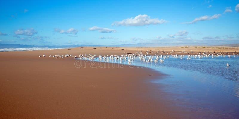 Seagulls mellan den Stilla havet- och Santa Maria floden på Rancho Guadalupe Sand Dunes på central kust av Kalifornien USA arkivfoton
