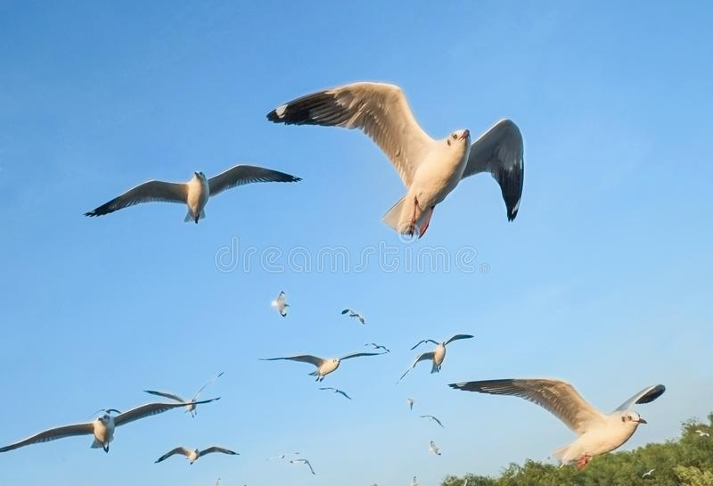 Seagulls migrate from Siberia, Mongolia, Tibet and China to Bang Pu, Samut Prakan Thailand. stock photo