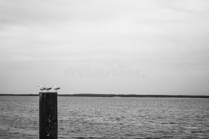 Seagulls minimal. Three seagulls resting on a wooden pile at the baltic sea. black and white © Maria Koehne royalty free stock photos