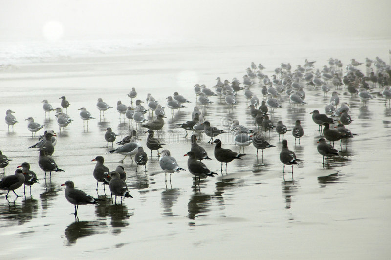 Seagulls on Misty beach royalty free stock images