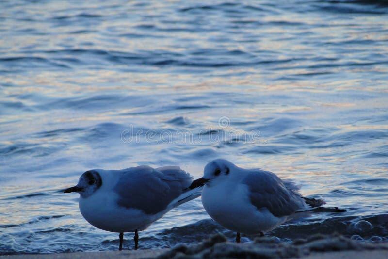 Seagulls na Czarnym morzu, Odessa plażą zdjęcie stock