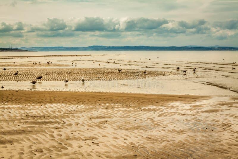 Seagulls na Portobello wyrzucać na brzeg przy niskim przypływem fotografia royalty free