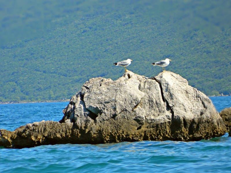 Seagulls na skale obrazy stock