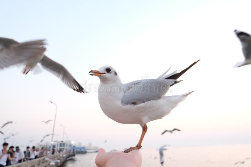 Seagulls nadmorski przy uderzenia Pu w Tajlandia fotografia stock