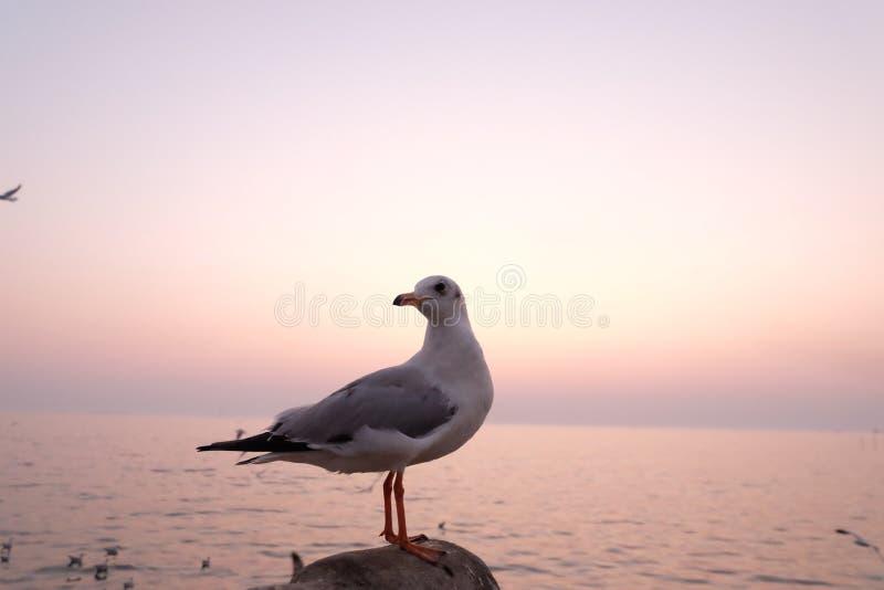 Seagulls nadmorski przy uderzenia Pu w Thaoland zdjęcia stock