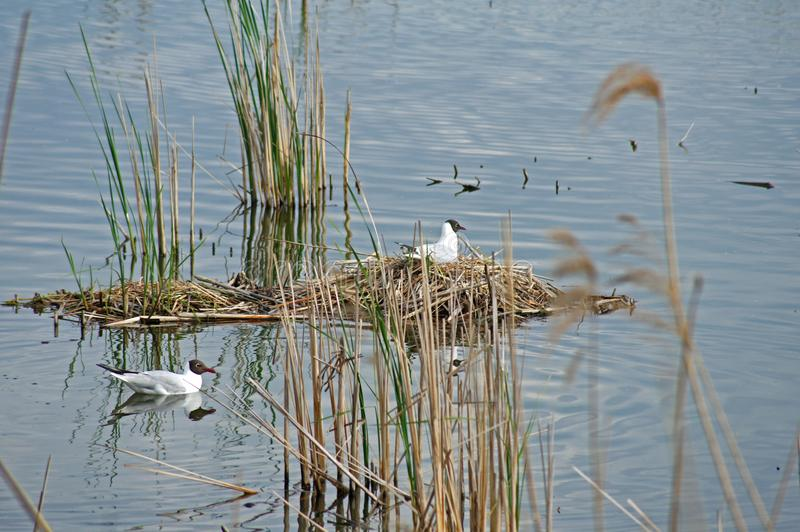 Seagulls nest. Nest colony of Seagulls the birds formed a small island from the reeds, to the nest stock photo