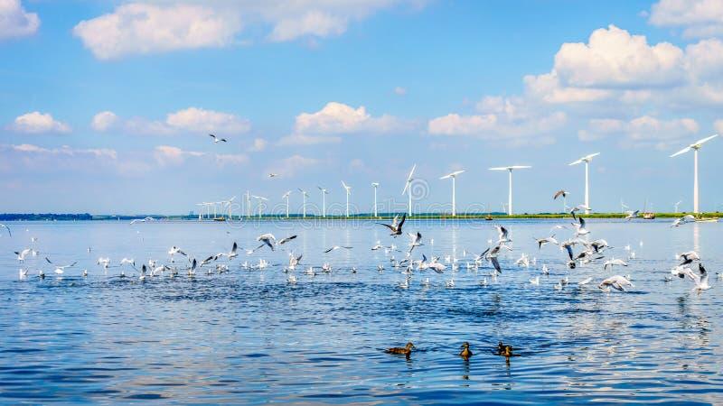 Seagulls och änder på Veluwemeeren i Nederländerna med vindturbiner i en stor vindlantgård royaltyfri fotografi