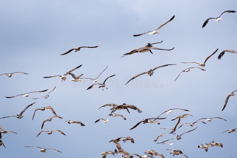 Seagulls och brunt pelikanflyg av Stilla havetkusten; bakgrund för blå himmel arkivfoton