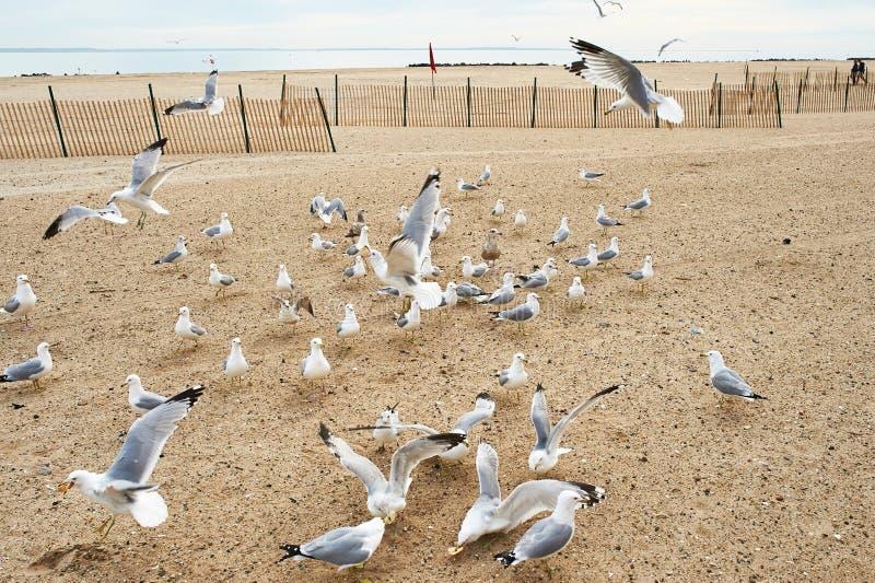 Seagulls på Brighton Beach, New York royaltyfria foton
