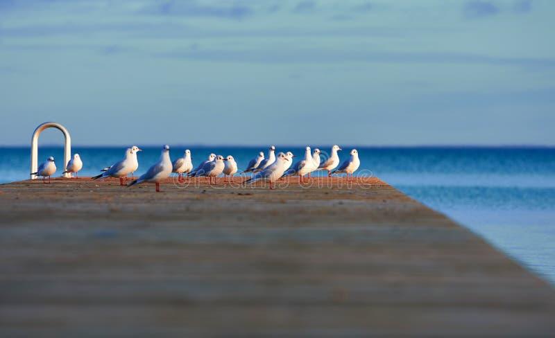 Seagulls på den Danmark pir royaltyfria foton