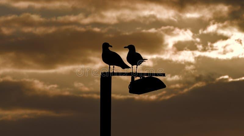 Seagulls på den silhouetted stolpen, guld- soluppgång, cala bona, mallorca, Spanien arkivfoton