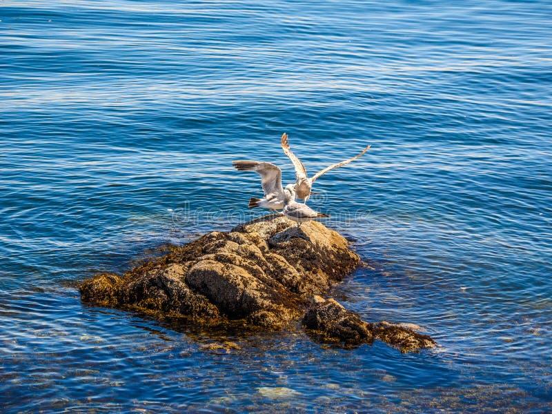 Seagulls på den steniga kusten av Sidney F. KR., Kanada royaltyfri bild