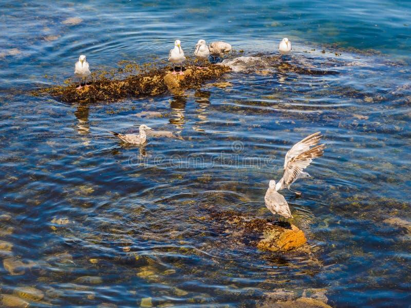 Seagulls på den steniga kusten av Sidney F. KR., Kanada fotografering för bildbyråer