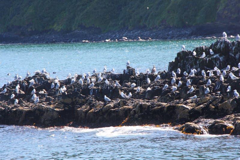 Seagulls på den steniga reven vid den Starichkov ön nära den Kamchatka halvön, Ryssland royaltyfri foto