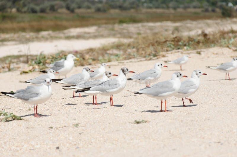 Seagulls på en närbild för sandig strand arkivfoto