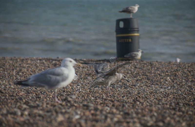 Seagulls på en strand - Brighton, England; solig dag i sommar royaltyfria bilder