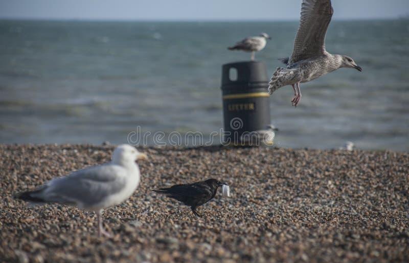 Seagulls på en strand - Brighton; solig dag i sommar royaltyfri fotografi