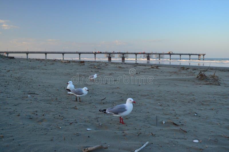 Seagulls på en strand med hamnplatsbron i bakgrund, Christchurch royaltyfri bild