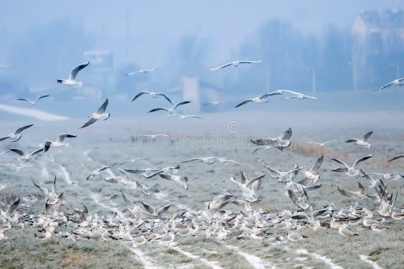 Seagulls på fält arkivfoto