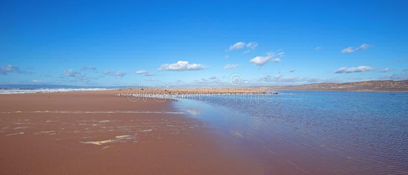 Seagulls på halvön av sand mellan Stilla havet och den Santa Maria floden på Ranchoen Guadalupe Sand Dunes Preserve på royaltyfria foton