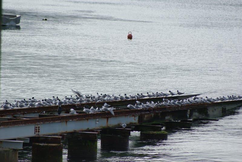 Seagulls på räcket vid vatten arkivbild