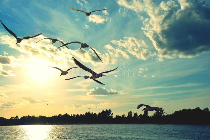 Seagulls på solnedgången arkivbilder