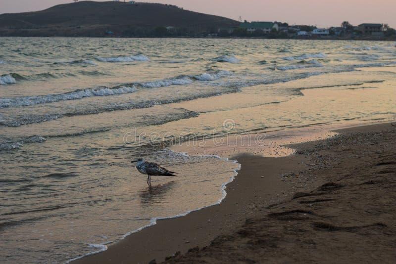 Seagulls på solnedgångstranden arkivbild