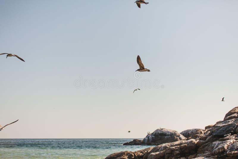 Seagulls på Stilla havet av Puerto Escondido arkivbild