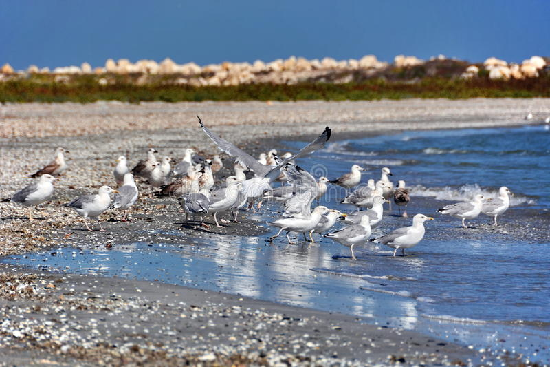 Seagulls på stranden arkivbilder