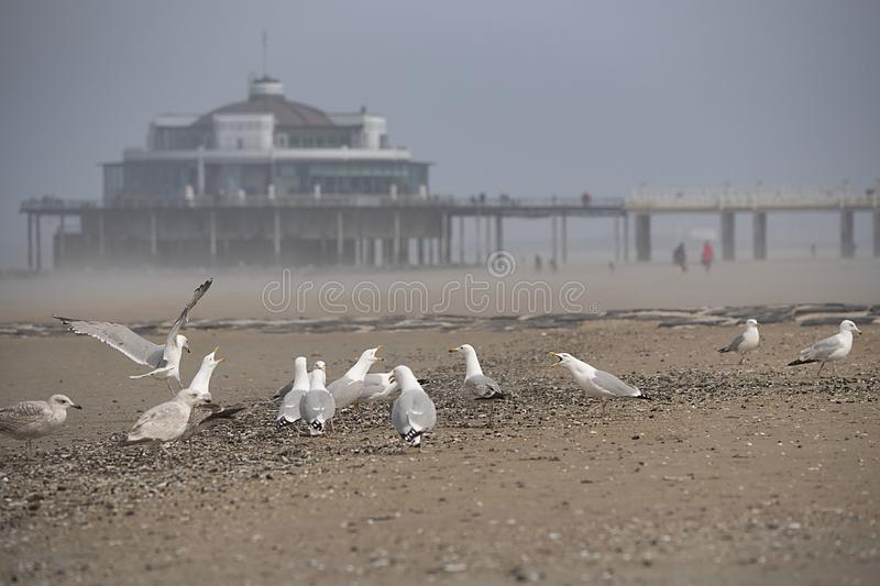 Seagulls på stranden med pir, brygga i Blankenberge, Belgien arkivbilder