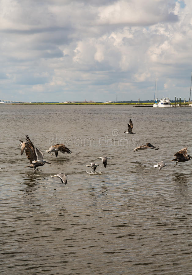 Seagulls and Pelicans Skimming Across Water. A flock of sea birds skimming across a bay with white boats in background stock photos