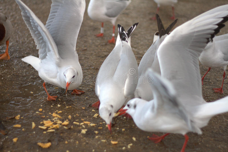 Seagulls picnic. A group of seagulls are sharing some snacks together royalty free stock photography