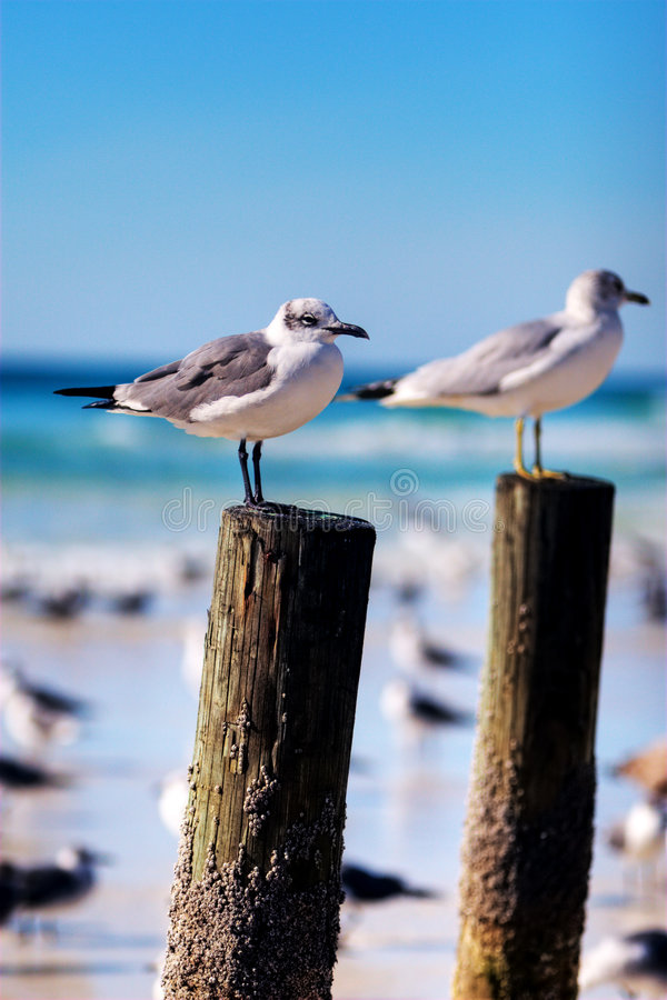 Download Seagulls on a Post stock photo. Image of seagull, beach - 7703846