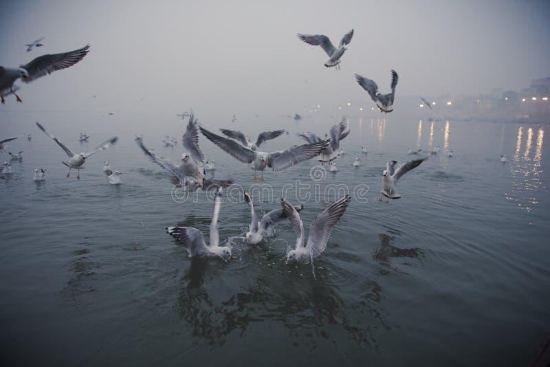 Seagulls przy Ganges rzeką zdjęcie stock