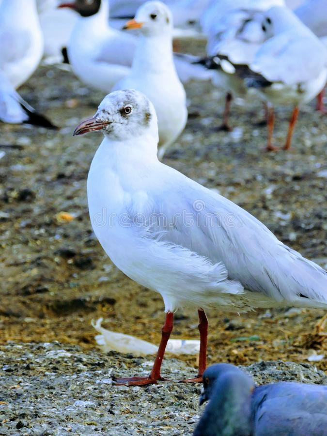 Seagulls przy Mumbai vashi zdjęcie stock