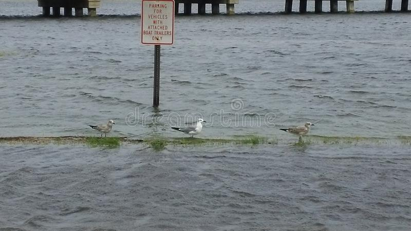 Seagulls relaxing during a storm. royalty free stock image