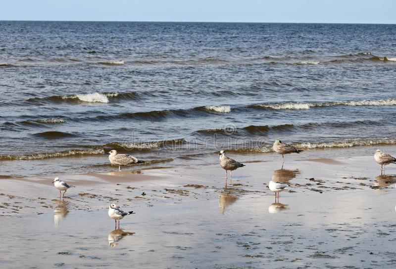 Seagulls are resting on the sandy shore of Riga seaside on a cloudy summer day.  stock photos