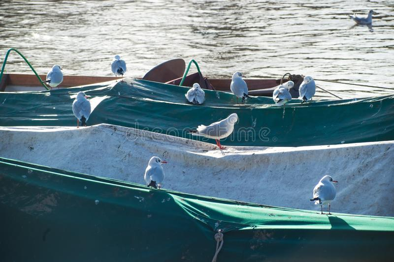 Seagulls on river boats. Seagulls settle on tarpaulin covered river rowing boats stock image