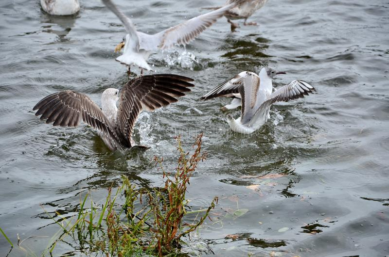 Seagulls on the river royalty free stock photos