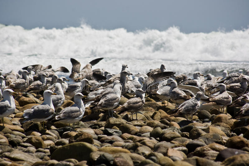 Seagulls on the rocks royalty free stock photo