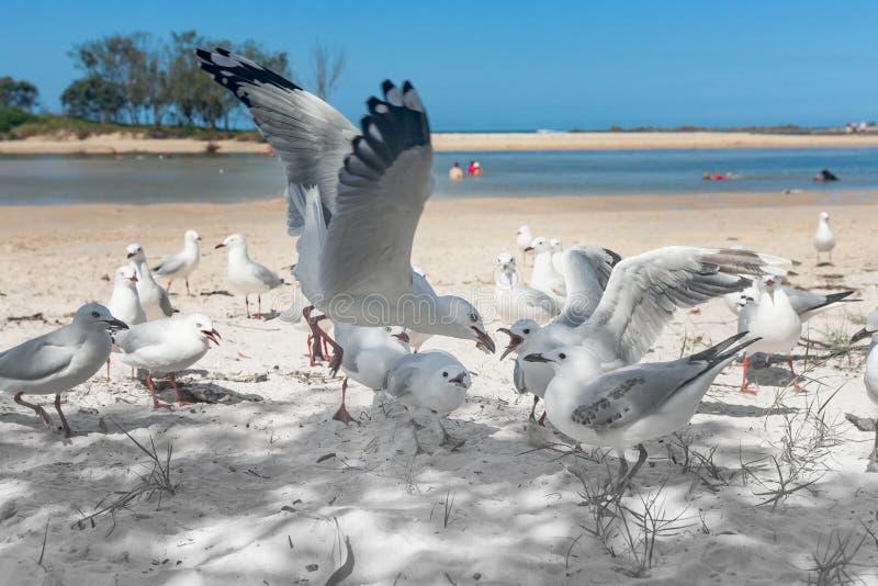Seagulls samlar för mat på stranden royaltyfria bilder