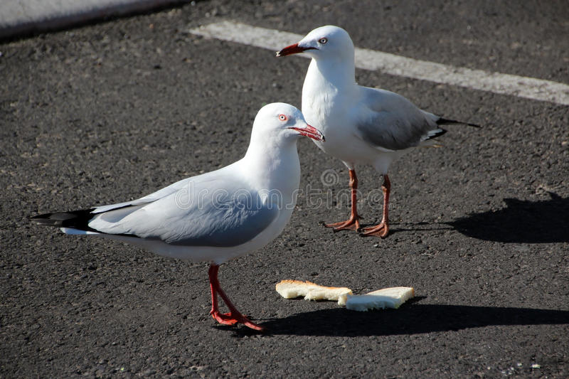 Seagulls with Sandwich. The two dainty white seagulls are partaking of a discarded sandwich in the parking area as they are well known scavengers stock photography