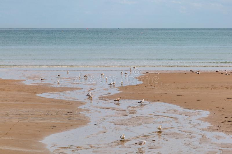 Seagulls on the Shore. Seagulls on a sandy beach on the island of Jersey, on a sunny summers day stock photography