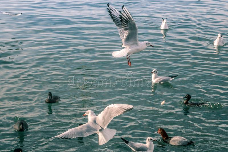 Seagulls at sea. The sea cannot be without gulls. Silhouette of a man and the sea. Sea element. sky and water. pier. horizon. ornithology. the reflection in royalty free stock photo
